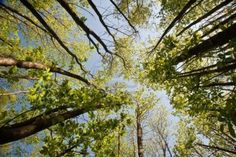 Worm's eye view looking up through canopy of beech trees on bright blue sky day Stock Photo - 13851364