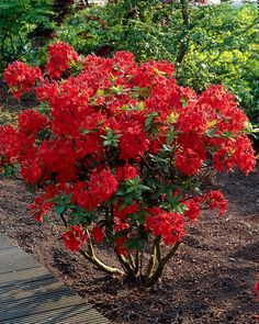 Wake up the spring garden with a splash of orange. Huge trusses of lightly scented, coppery-orange flowers open from red-orange buds before leaves. Azaleas Landscaping, Garden Shrubs, Front Yard Landscaping, Landscaping Ideas, Spring Garden, Winter Garden, Azalea Bush, Sonic Bloom, Pieris Japonica