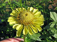Envy zinnia Zinnia Elegans, Seed Catalogs, Annual Flowers, Garden Seeds, Flower Images, Zinnias, This Is Us, Daisy, Bloom
