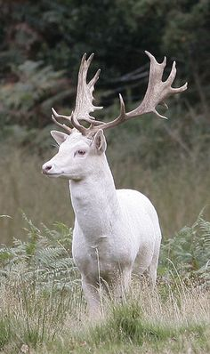 These are the deer all over Point Reyes CA. I would see them every week. They also come in dark chocolate brown! -White Fallow Deer (white, not albino) Beautiful Creatures, Animals Beautiful, Animals And Pets, Funny Animals, Rare Albino Animals, Albino Deer, Deer Photos, Fallow Deer, Majestic Animals