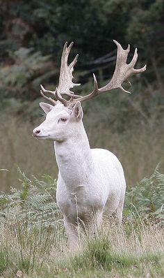 White Fallow Deer (white, not albino)