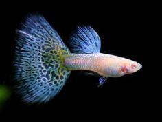 The Brackish Tank • ichthyologist: Guppy (Poecilia reticulata) ...