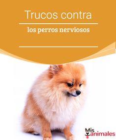 Trucos contra los perros nerviosos - Mis animales  ¿Tu perro muestra síntomas de ansiedad o tiene comportamientos erráticos?Te damos algunos trucos para que puedas lidiar con perros nerviosos.