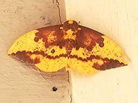 Pink-striped Oakworm Moth