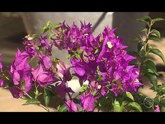 Trepadeiras floridas decoram casas e vilas na Grécia - YouTube