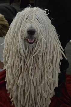 Komondor Information - Dog Breeds at thepetowners Mop Dog, Dog Cat, Big Dogs, Dogs And Puppies, Doggies, Hungarian Dog, Dog Breeds That Dont Shed, Best Guard Dogs, Rare Dogs