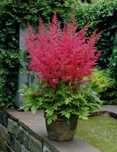 Garden Astilbe 'Granat' (Astilbe x arendsii)