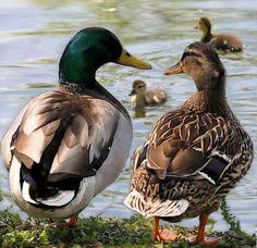 Cute duck family, photo from http:/facebook.com/TexasHillCountry