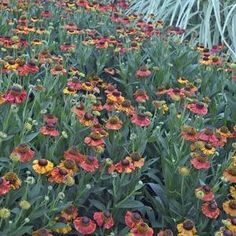 Buy Helenium Sahins Early Flowerer Perennial Plants Online. Garden Crossings Online Garden Center offers a large selection of Sneezeweed Plants. Shop our Online Perennial catalog today!
