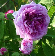 Rose Président de Sèze