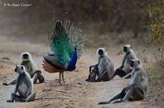 monkeys are gazing peacok dance Twitter