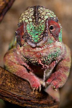 Furcifer pardalis - Panther Chameleon ONCE SIR SAMMY MC.CUDDLEYKINZ DIES I WANT ONE OF THESE