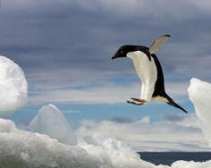 © RALPH LEE HOPKINS/National Geographic An Adelie penguin, Pygoscelis adeliae, jumping on an iceberg in Brown Bluff, Antarctic Peninsula, Antarctica. Christie's Boundless: 125 Years of National Geographic Photography National Geographic Fotos, National Geographic Photography, Penguin Breeds, Penguin Species, Wild Life, Art Vinyl, Penguin Pictures, Penguin Images, Laurel