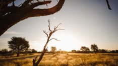 Stock Video of Linear timelaspe moving past a dead acacia tree revealing an African sunset in the Kalahari bushveld with grasslands and scattered thorn trees, towards the sun with flare at a 45 degree angle down available on request. at Adobe Stock Towards The Sun, African Sunset, Degree Angle, Acacia, Stock Video, Stock Footage, Sunsets, Flare, Past