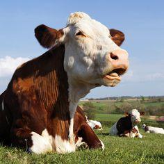 Como Começar Uma Criação de Gado de Leite Gado Leiteiro, Future Farms, Animals, Tumblr, Farmer, Cutest Animals, Valentines Day Weddings, Tutorials, Agriculture