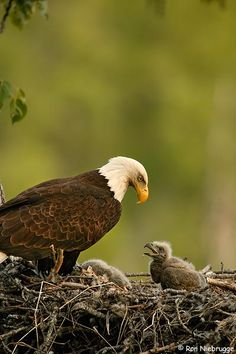 two newborn baby bald eagle eaglets in the nest.  Young eagles do not leave the nest until about 75 days after being born.  They will not attain adult plumage, the white head, or breed until 4 or 5 years of age.  This picture was taken in mid May about 15 days after being born.   Alaska