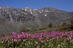Tulipa saxatilis on the Omalos plain in Lefka Ori,Crete.