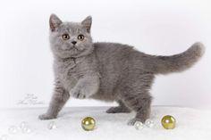 Pui british shorthair, crescatorie autorizata, Bucuresti. British Shorthair, Cats, Animals, Gatos, Animales, Animaux, Animal, Cat, Animais