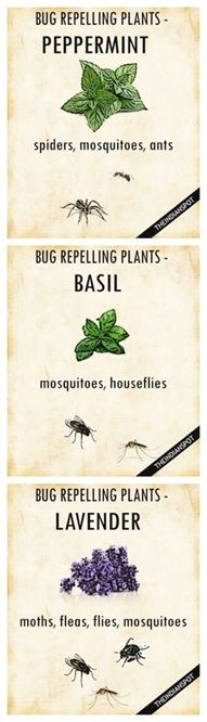 PLANTS THAT KEEP BUGS AWAY Worried how to repel mosquitoes and houseflies naturally? Simply get your garden area some pots of basil, and you are done. It belongs to the family of powerful, pungent herbs that can perfect companions to keep the bugs away. #GardenDesign
