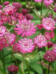 Astrantia carniolica 'Rubra' available at lazy s