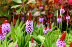 Primula vialii 'Primulaceae' - This evergreen shrub requires no pruning - good news! Grows to after about 5 years and blossoms from May - June. Primula Vialii, Colorful Garden, Garden Furniture, 5 Years, Evergreen, Blossoms, Shrubs, Cork, June
