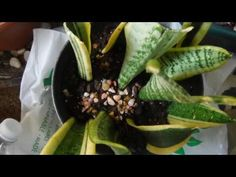 GROWING  *SNAKE PLANTS* from cuttings