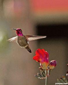 Hummingbird by sweet.dreams