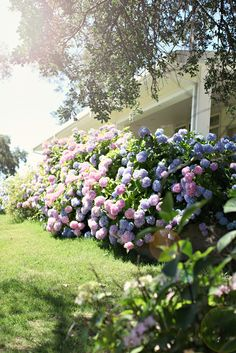 hydrangeas!!!!! Such GORGEOUS colors...#1 favorite flower by FAR. I would love to have these bushes in my life