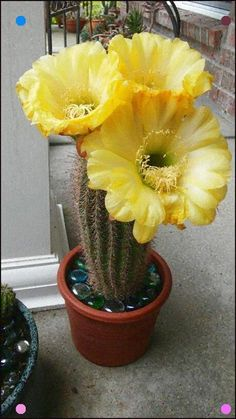 Most current Photos blooming cactus plants Strategies Plants in addition to cactus are definitely the perfect property interior decoration intended for minimalists Unique Plants, Exotic Plants, Exotic Flowers, Amazing Flowers, Succulent Gardening, Cacti And Succulents, Planting Succulents, Planting Flowers, Cactus Planta