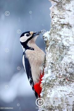 Great Spotted Woodpecker sitting on the tree trunk with snow Spotted Woodpecker, Snow, Bird, Animals, Outdoor, Animales, Outdoors, Animaux, Birds