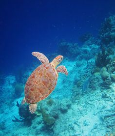 One of my favorite turtle shots ever, taken while snorkeling out on Klein Bonaire.