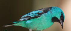 Série com o Macho de Saí-azul, Saí, Saí-bico-fino ou Saí-bicudo -  (Dacnis cayana) - Series with the male of the Blue Dacnis or Turquoise Honeycreeper - 10-04-2010 - IMG_3155 | por Flávio Cruvinel Brandão