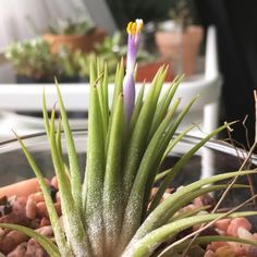 Beautiful blooming tillandsia
