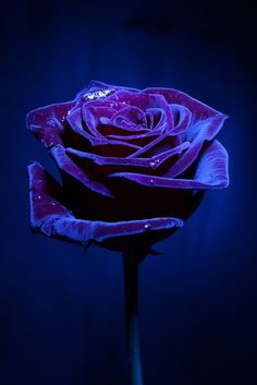 ❤ Blue and purple rose - so beautiful :) y want a blue ROSE Love Rose, Pretty Flowers, Purple Flowers, Red Roses, Dark Purple Roses, Dark Flowers, Shades Of Purple, Deep Purple, Dark Blue