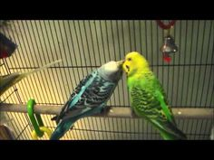 Budgie Party Having Fun. See What They Love To Eat At :48 - http://www.parrotshop.org/budgie-party-having-fun/