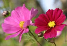 cosmos flowers images - Google Search Cosmos Plant, Cosmos Flowers, Growing Herbs, Growing Flowers, Plant Diseases, Lawn And Landscape, Beneficial Insects, Flower Seeds, Summer Garden