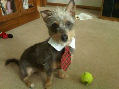 """Tara Martino's dog is """"still very young, but already has a white/gray head of hair… and he likes to dress business-casual."""""""