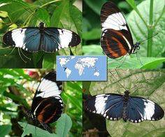 Cydno Longwing   Heliconius cydno    Wingspan:  3.0 to 3.4 in Family: Nymphalidae   Subfamily: Heliconiinae   Tribe:  Heliconiini  Photos © Ryan G. Fessenden
