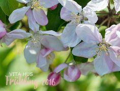 Apfelblüte und Brunnera's