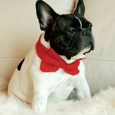 Formal Frenchie