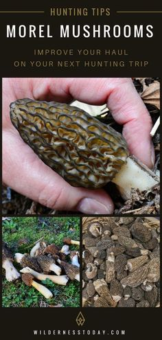 Check out our morel mushroom hunting guide and make sure you get your fair share this morel hunting season! Quail Hunting, Turkey Hunting, Deer Hunting, Hunting Gear, Hunting Humor, Growing Mushrooms, Wild Mushrooms, Stuffed Mushrooms, Crossbow Hunting