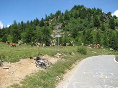 Drie uur afzien ... en wat staat er boven op de Mortirolo: koeien! (augustus 2013)