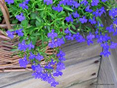 Blue Lobelia is a wonderful annual to add to your garden this year. It comes in VIBRANT shades with loads of blooms and grows in full sun to part shade. Full Sun Container Plants, Sun Plants, Nature Plants, Container Flowers, Shade Plants, Cool Plants, Container Gardening, Old Garden Tools, Garden Ideas