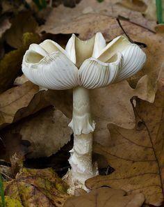 Agarica's Garden: In ~ Death cap mushroom (Amanita phalloides).