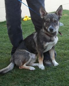 Medallion - Corgi & Husky • Adult • Male • Medium Grant County Animal Outreach Moses Lake, WA  He is about 2 years old.He weighs about 26 pounds.He came to the shelter as a stray on October 8th.