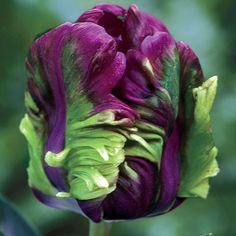Rai Tulip