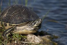 Florida Cooter Turtle in the Everglades National Park