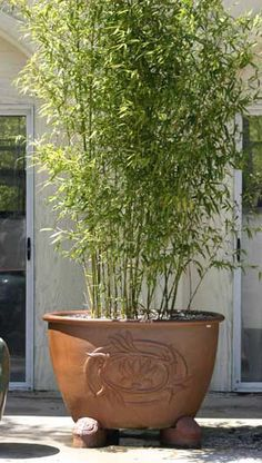 Image from http://www.bamboogiant.com/aboutBamboo/HedgePot-with-aurea.jpg.