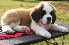 Gorgeous Saint Bernard Puppy