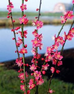 ABRICOTIER DU JAPON : Sa floraison délicatement parfumée intervient en fin d'hiver sur les rameaux nus et apporte une touche de couleur bienvenue. Bel arbuste à utiliser en haie champêtre ou en massif, en situation abritée des fortes gelées qui pourraient abîmer les fleurs. Se plaît dans toute bonne terre de jardin enrichie de terreau. Mois de floraison : en février-mars. Exposition : ensoleillé.